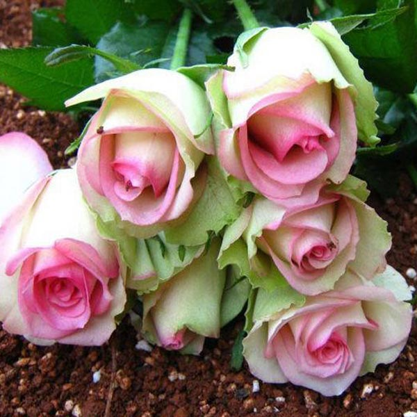 roses from seed