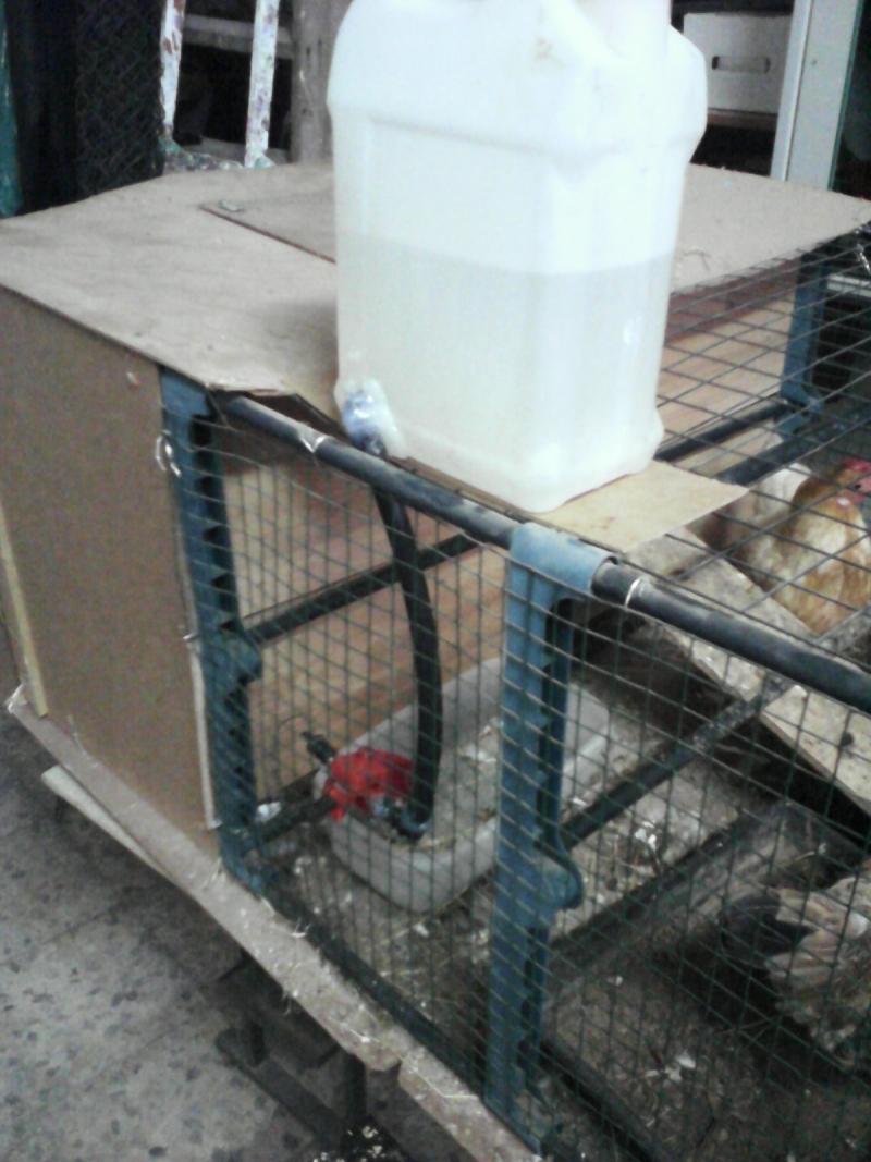 Automatica del pollame acqua potabile bevitore pollo tazza - Tazza del bagno prezzo ...