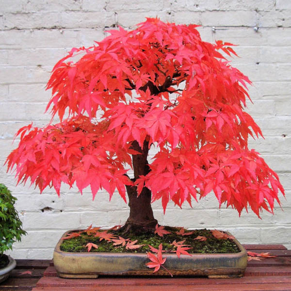Egrow 10pcs Red Maple Seeds Garden Bonsai Beautiful Indoor Potting Plant