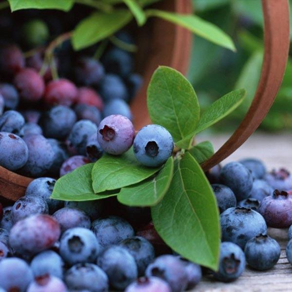 Egrow 30Pcs Blueberry Seeds Garden Edible Fruit Bonsai Plant Indoor Outdoor Delicious Plant