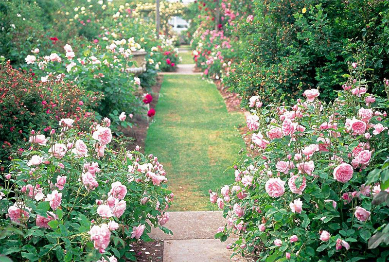 Egrow 200Pcs Garden Climbing Rose Seeds Balcony Drcoration Mix Colors Flower Seeds