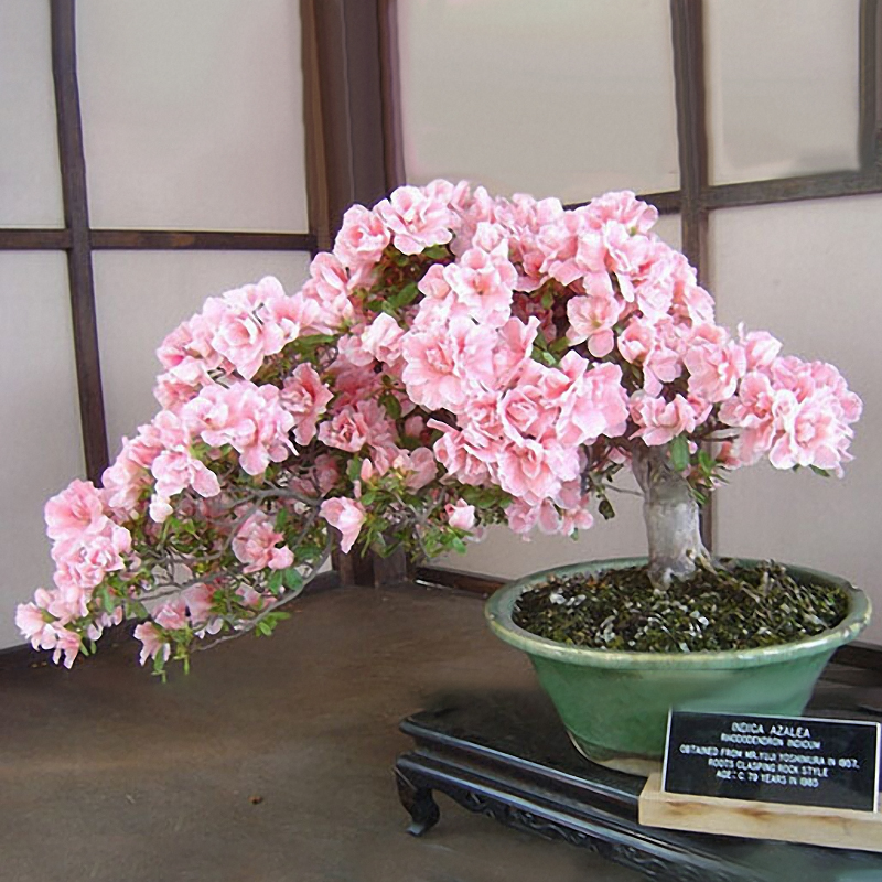 Egrow 10Pcs Sakura Flower Seeds Pink Cherry Blossom Tree Bonsai Plants Garden Rare Perennial Planting