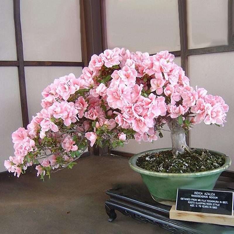 Egrow 10Pcs Sakura Flower Seeds Pink Cherry Blossom Tree Bonsai Plants Garden Rare Perennial Planting