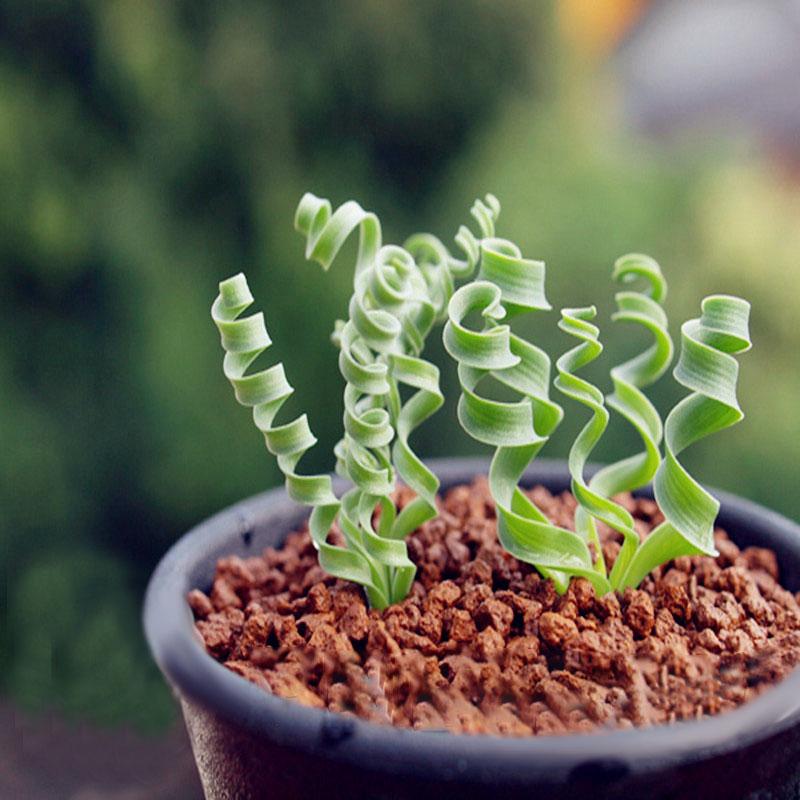 Egrow 100 Pz / Borsa Sprial Erba Semi Verde Piante grasse Giardino FAI DA TE Bonsai Fiore In Vaso Seme