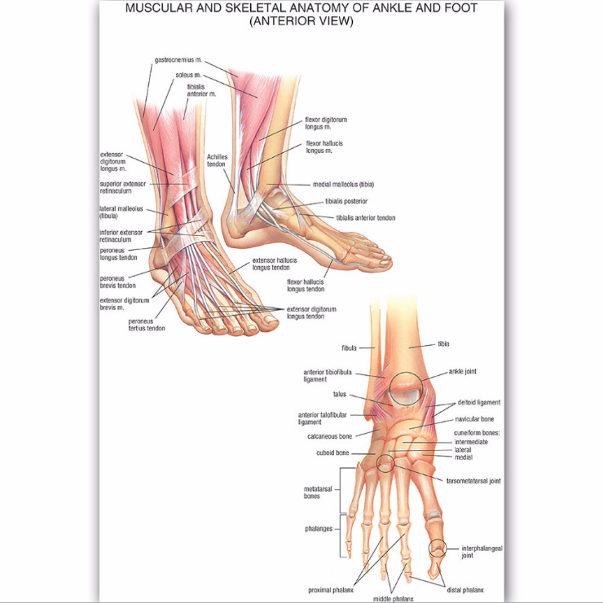 Muscular Skeletal Ankle Poster Silk Cloth Chart Human Body Anatomy Educational Home Decor
