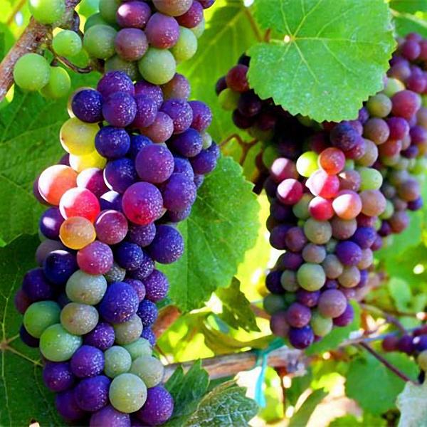 Egrow 50Pcs/Pack Grape Seeds Rainbow Colorful Garden Fruit Plants Sweet Kyoho Grape Seeds