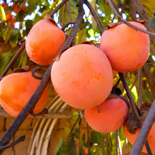Egrow 30 Pcs/Pack Persimmon Tree Seeds Diospyros Kaki Fruit Seed Home Garden Bonsai Plants