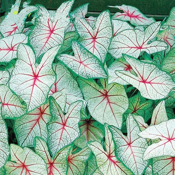 Egrow 100Pcs/Pack Colorful Janpanse Coleus Seeds Garden Foliage Plants Flowers Bonsai