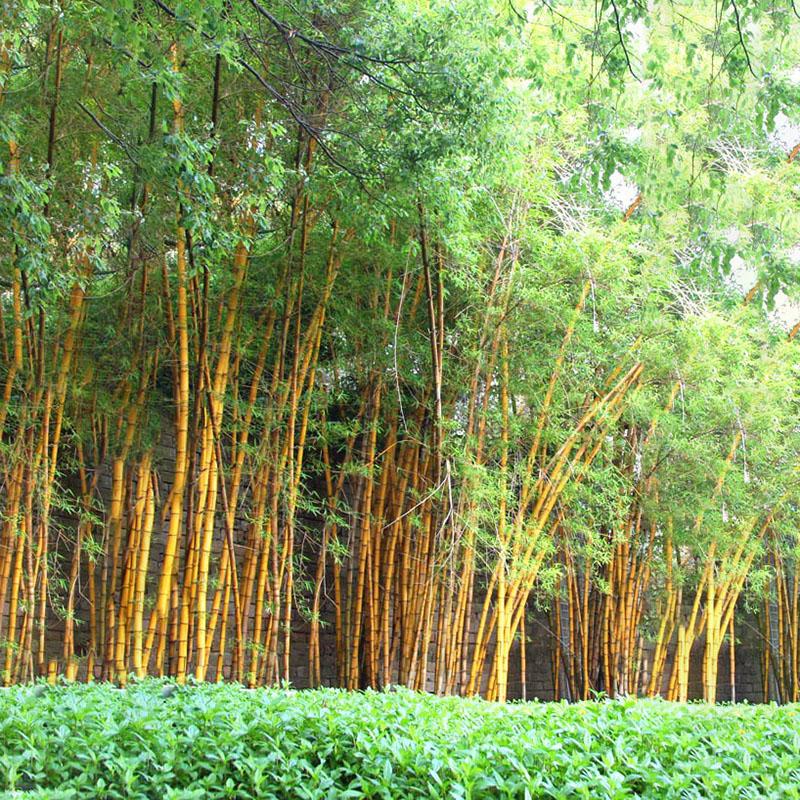Egrow 50pcs/Bag Golden Bamboo Seeds New Sementes Rare Golden Bamboo Tree Seeds for Home Garden DIY Plants Rare Quality Bamboo Seeds