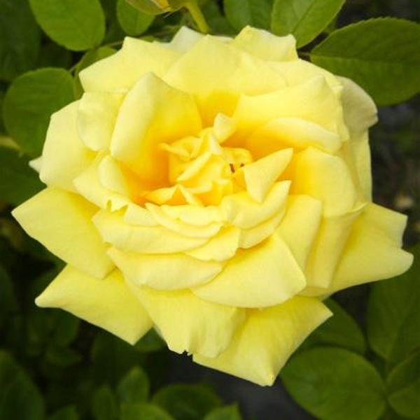 Egrow 100Pcs/Pack Climbing Rose Seeds Courtyard Plants Flower Seeds For Home Garden Plant