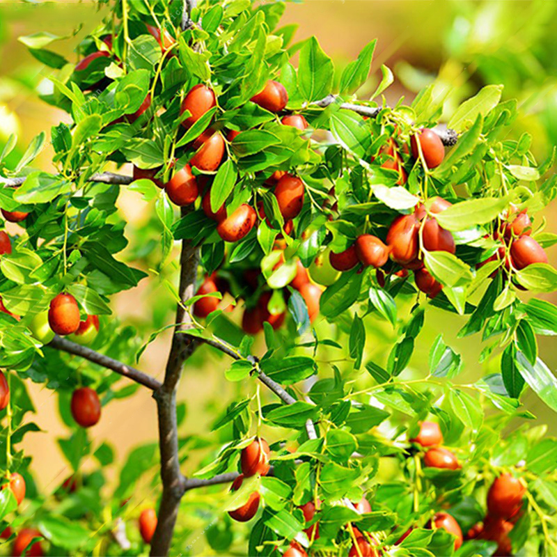 Egrow 10Pcs/Bag Jujube Seeds Real Exotic Fruit Jujube Seeds Bonsai Natural Healthy Delicious Organic Beautiful Easy Grow Perennial Plant