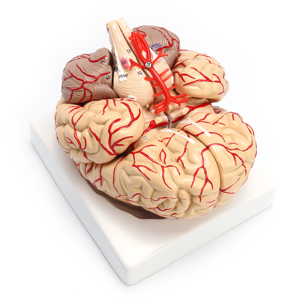 1:1 Life Size Scientific Human Brain Arteries Anatomical Model Pro Dissection Medical Teaching Model