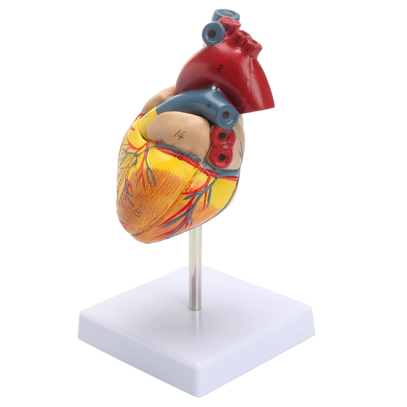 Anatomical Human Life Size Heart Model - Medical Cardiovascular ...