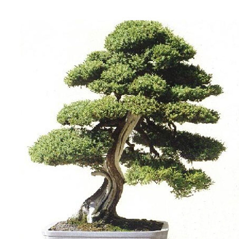 Egrow 20Pcs Japanese Cedar Semillas Bonsai Seeds Rare Tree Seeds for Home Garden Planting