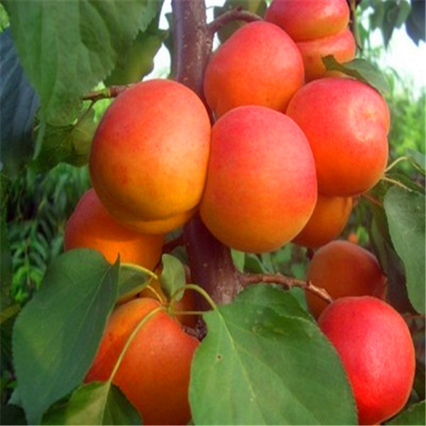 Egrow 2Pcs/Pack Apricot Tree Seeds Garden Orchard Green Plants Edible Fruit Tree Seeds