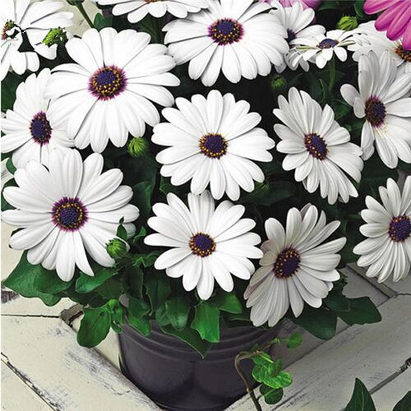 30Pcs African Blue Eyed Daisy Seeds Osteospermum Seeds Mix Color Flower