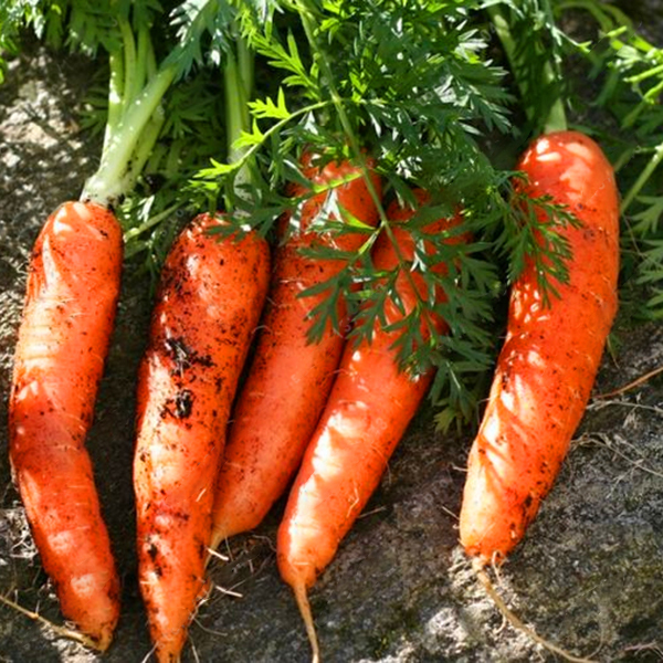 Egrow 200Pcs/Bag Organic Carrot Seeds Garden Potted Nutritive Fresh Vegetable Plants Seed