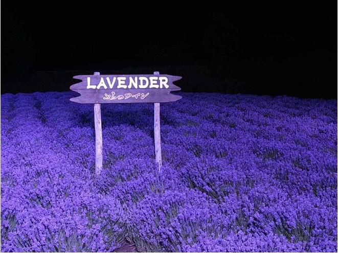 Egrow 200Pcs Provence Lavender Seeds Fragrant Organic Flower Seeds Home Garden Bonsai Plant