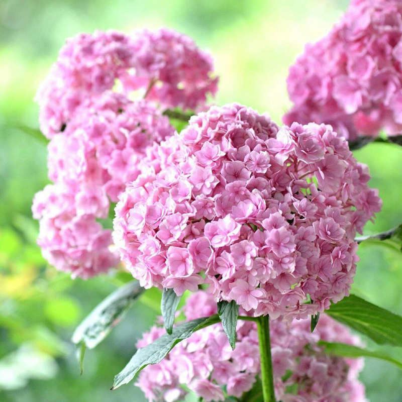 Egrow 50Pcs Vanilla Strawberry Hydrangea Flower Seeds Planting Flower Bonsai Tree Seeds