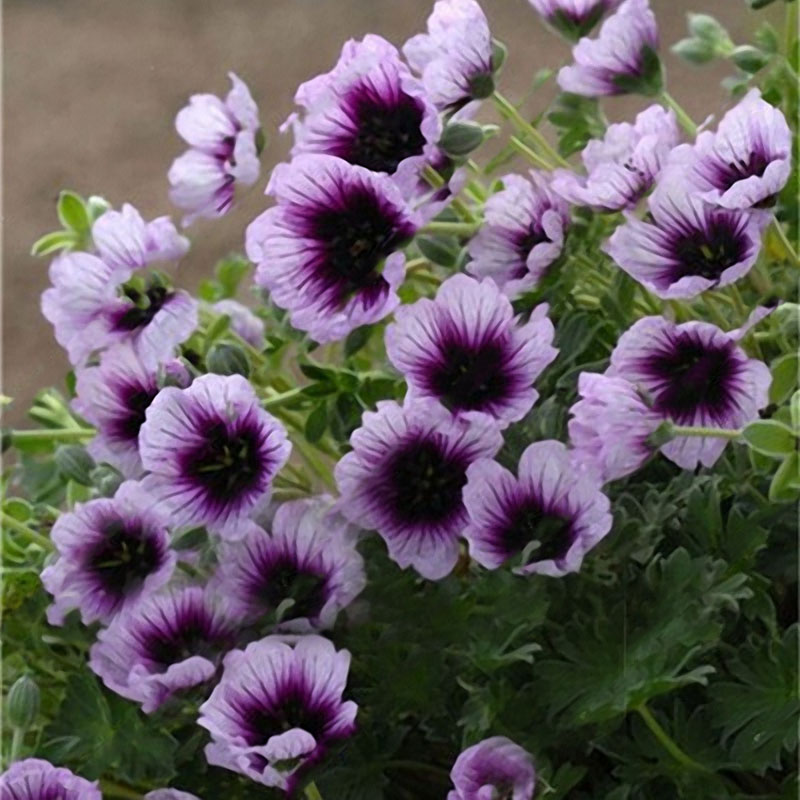 Egrow 100 PCS Geranium Seed Garden Potted Flower Seeds Pelargonium Plant Bonsai Outdoor Flower Seeds