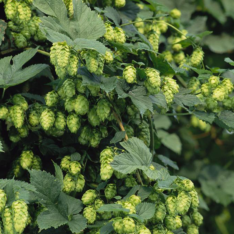 Egrow 100Pc/sPack Hops Seeds Humulus Lupulus Brewing Beer Plant Tea Herb Brew German Magnum