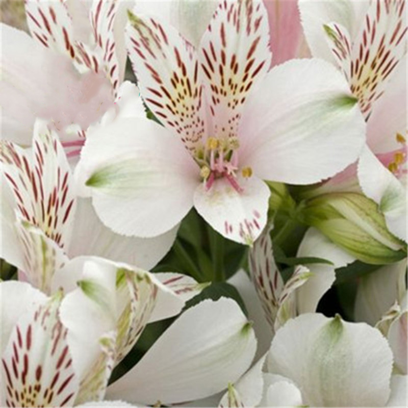 Egrow 100PCS/Pack Lily Seeds Rare Peruvian Lily Alstroemeria Bonsai Plants Mix-Color Lilies Flower For Home & Garden Decoration