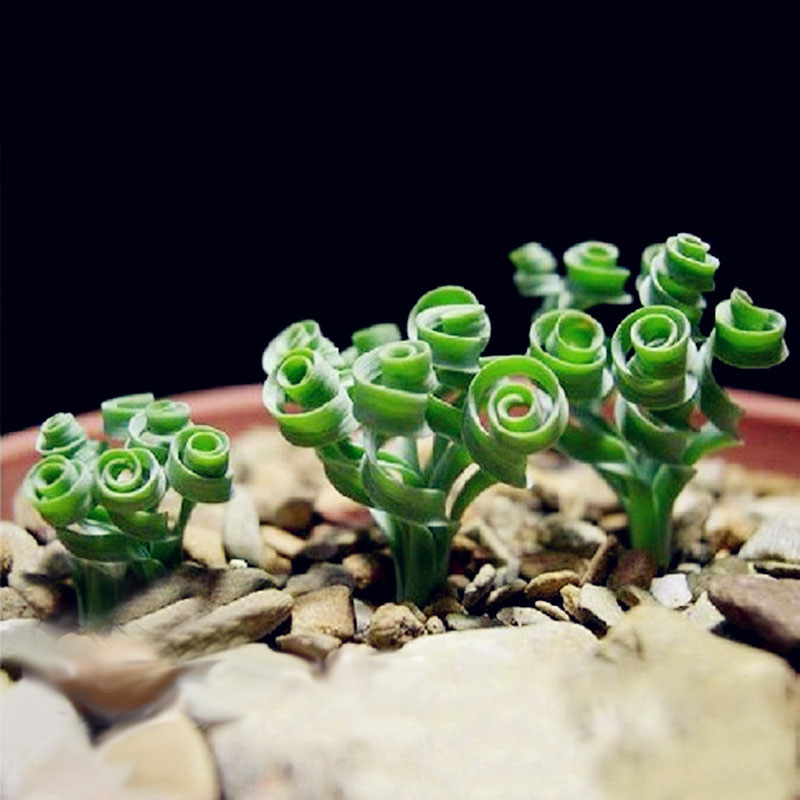 Egrow 100Pcs/Bag Sprial Grass Seeds Green Succulents Plants Garden DIY Bonsai Potted Flower Seed