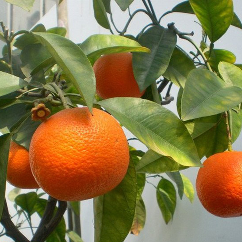 30Pcs Edible Fruit Mandarin Bonsai Tree Seeds Citrus Seeds Bonsai Mandarin Orange Seeds