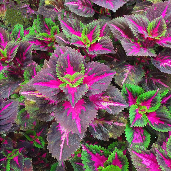Egrow 100Pcs/Pack Coleus Seeds Rainbow Dragon Seeds Garden Japanese Foliage Plants