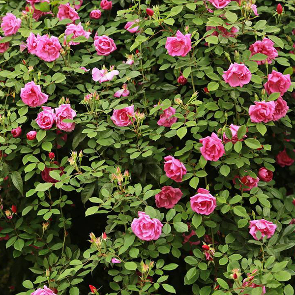 100Pcs Perfume Rainbow Climbing Plants Coulourful Rock Cress Flower Seeds