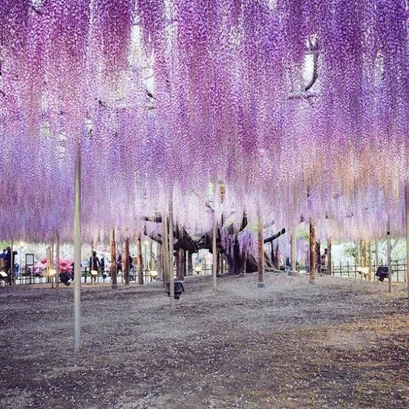 Egrow 15Pcs/Bag Rare Wisteria Flower Seeds Purple Wisteria Sinensis Sweet Seeds for Home Garden Plants Sims Flower Seeds