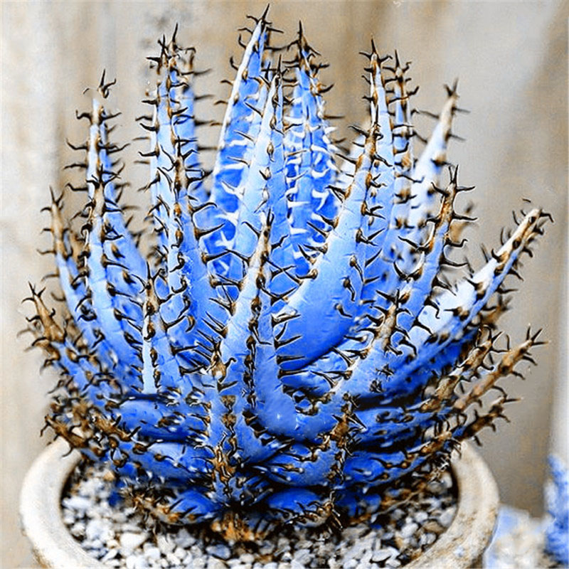 Egrow 100Pcs/Bag Cactus Aloe Seeds Colorful Cactus Rebutia Variety Succulent Flower Potted Seed