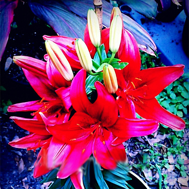 Egrow 100 PCS Perfume Liliy Seeds Cheap Perfume Lilies Seeds, Rare Color Flower Garden Plant