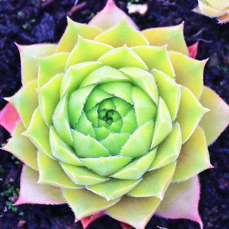 Egrow 100Pcs/Bag Sempervivum Seeds Colorful Gardening Succulent Plant Flower Seed