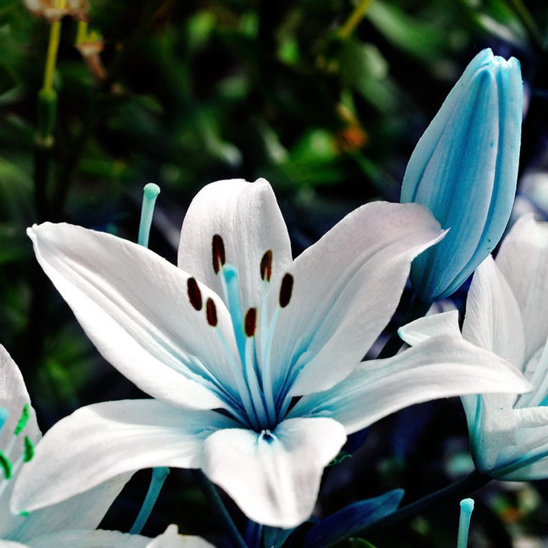 Egrow 50pcs Blue Heart Lily Seeds Potted Plant Bonsai Flower For Home Garden