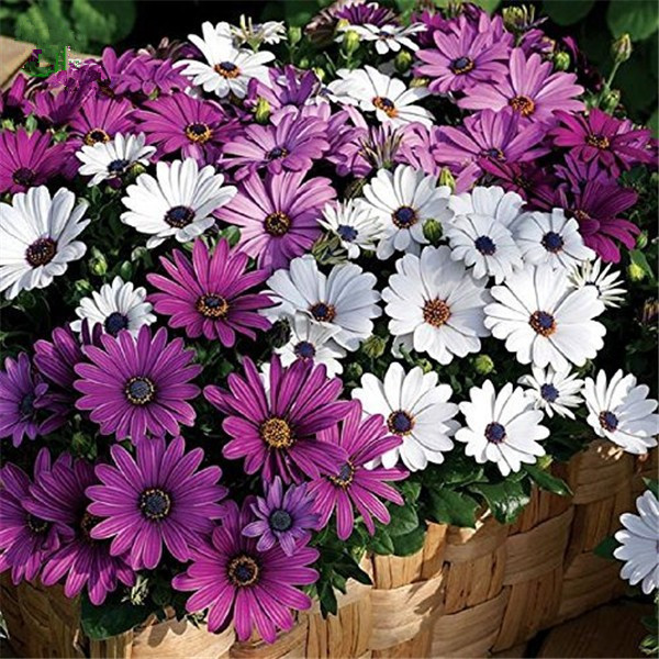 Egrow 30Pcs/Pack White Purple Miracle Daisy Seeds Mix Color Bonsai Plants Ornamental Fower Seeds