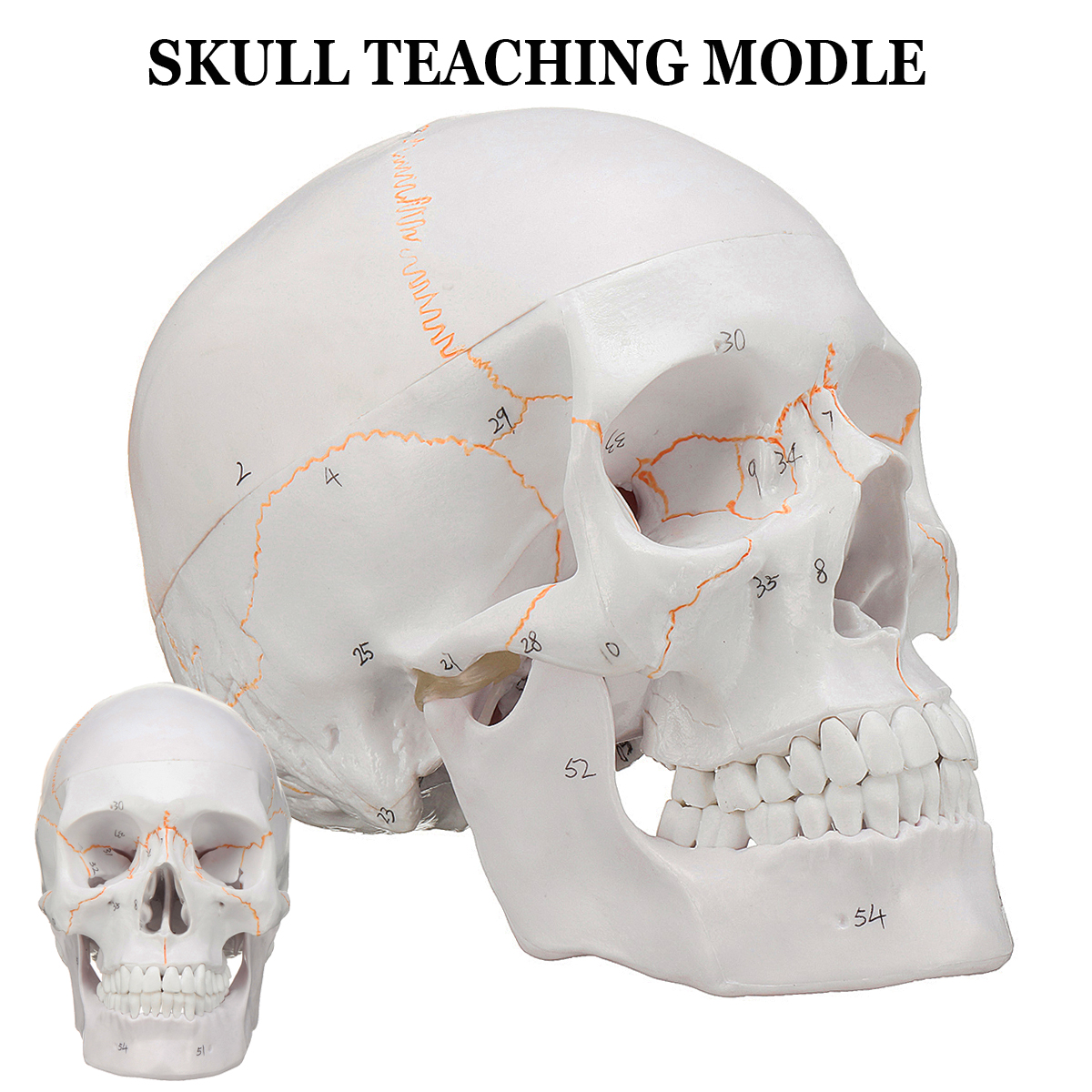 Life Size Human Anatomical Anatomy Head Skeleton Skull Teaching Medical Model Precise