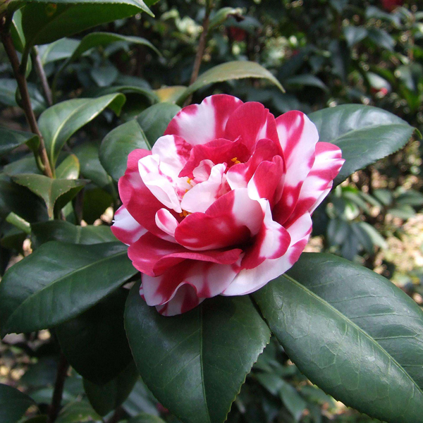 Egrow 10Pcs/Pack Camellia Flowers Seeds Potted Plants Home Garden Decorations Flower Seeds
