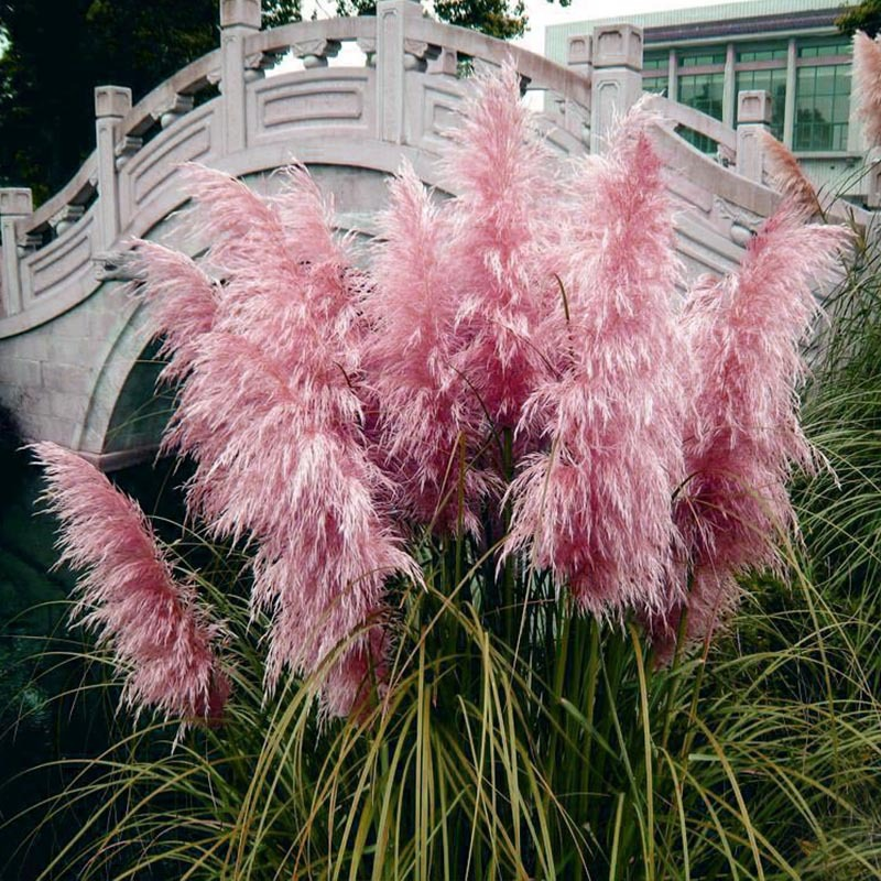 Egrow 200Pcs Pampas Grass Seed Potted Purple Pampas Grass Garden Ornamental Plants
