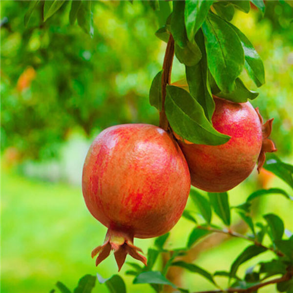 Egrow 30Pcs/Pack Pomegranate Seeds Sweet Delicious Indoor Fruit Seeds Pomegranate Mini Bonsai Tree