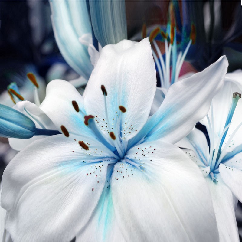 Egrow 50Pcs Blue Heart Lily Seeds Potted Plant Bonsai Lily Flower Seeds For Home Garden