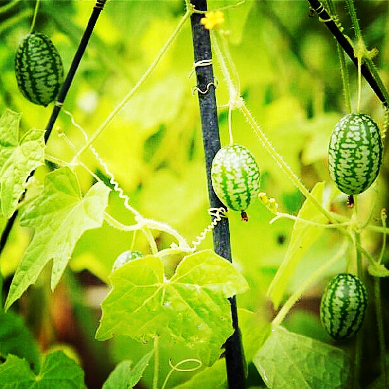 Egrow 50Pcs/Bag Mini Watermelon Seeds Thumb Watermelon Seeds Mini Watermelon Fruit Seeds Indoor Small Balcony Pot Planting for Home and Garden