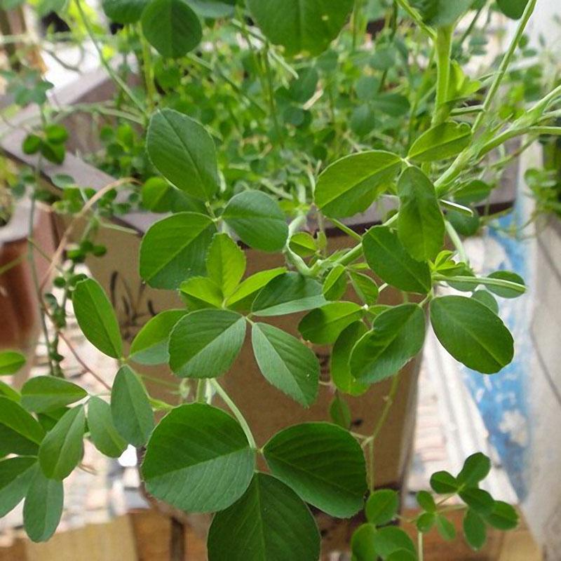 Egrow200Pcs/Bag Alfalfa Seeds Perennial Medicago Sativa Seeds Hardy Flowers Forage Seeds for Home Garden Plants