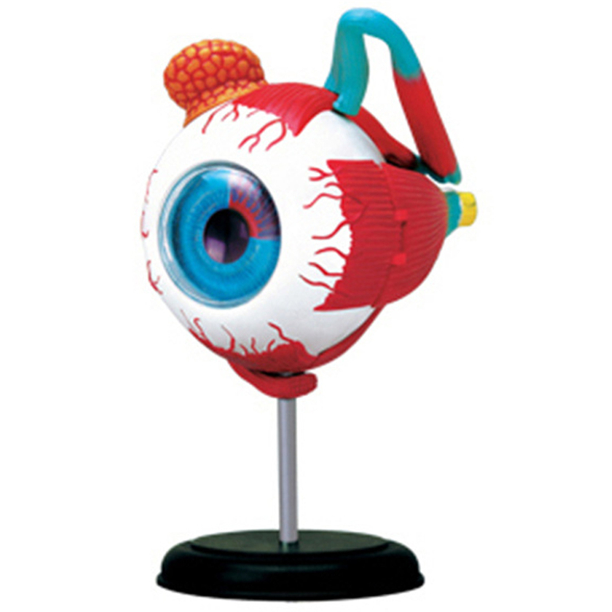 4D Human Eyeball Teaching Model Separately Study Learning Instrument Science Toy