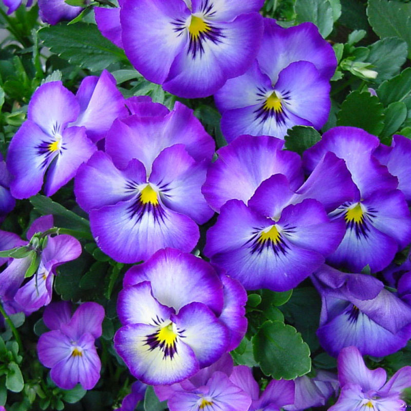 Egrow 100Pcs Pansy Seeds Mix Color Wavy Tri Color Flower Seed Bonsai Potted