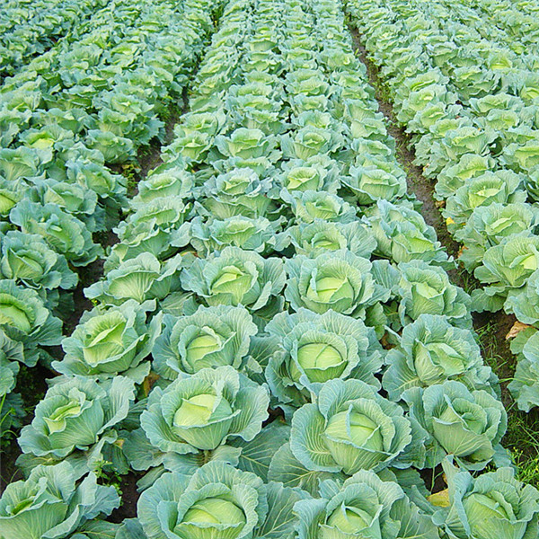 Egrow 100Pcs/Pack Giant Cabbage Seeds Organic Vitamin Vegetables Seeds Courtyard Plants