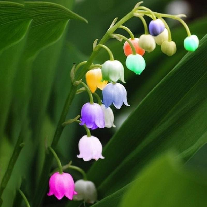 Egrow 50 pz semi di giglio di valle raro colore d for Semi orchidea