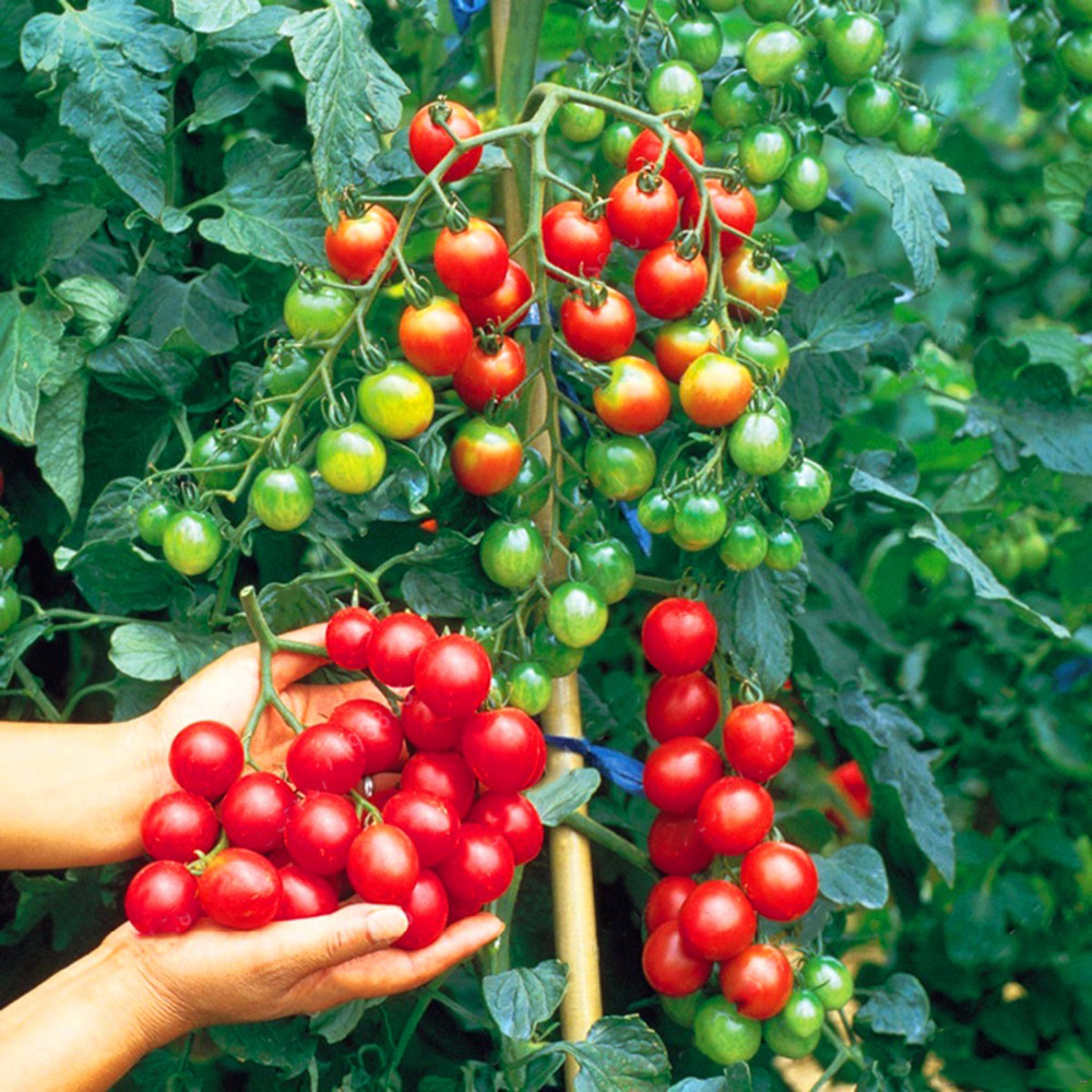 Egrow 200Pcs Tomato Seeds Garden Vegetable Planting Red Yellow Black Potted Tomatoes Bonsai