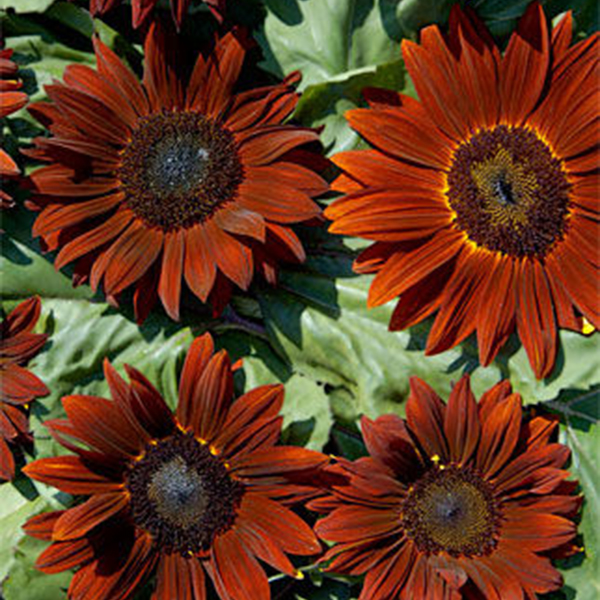Egrow 20Pcs/Pack Wine Red Sunflower Seeds Garden Decoration Plants Potted Flower Seeds