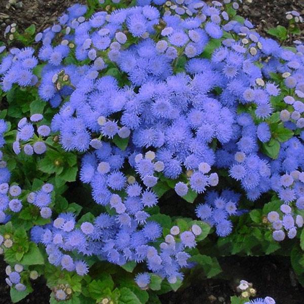 Egrow 20Pcs/Pack Ageratum Seeds Garden Courtyard Annual Blue Purple Beautify Flowers Plants Seeds